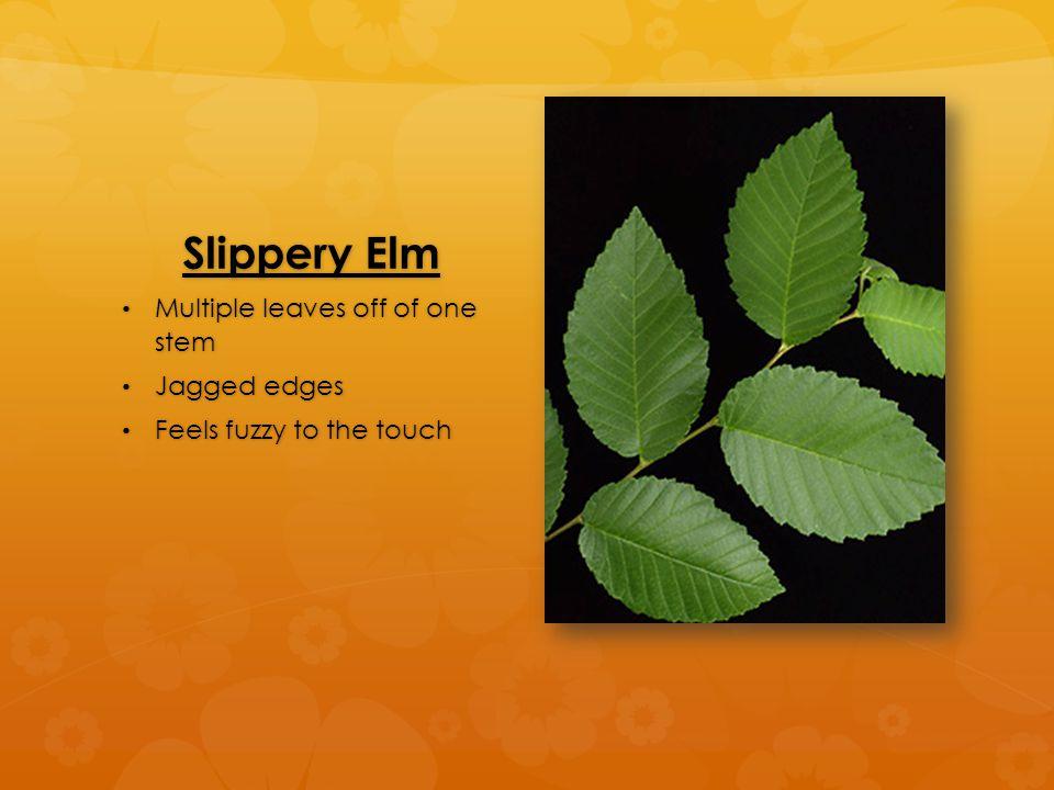 Slippery Elm Multiple leaves off of one stem Multiple leaves off of one stem Jagged edges Jagged edges Feels fuzzy to the touch Feels fuzzy to the touch