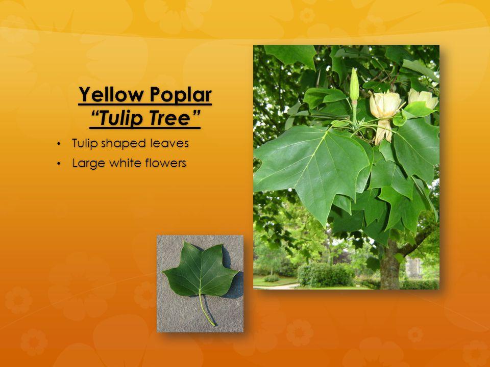 Yellow Poplar Tulip Tree Tulip shaped leaves Tulip shaped leaves Large white flowers Large white flowers