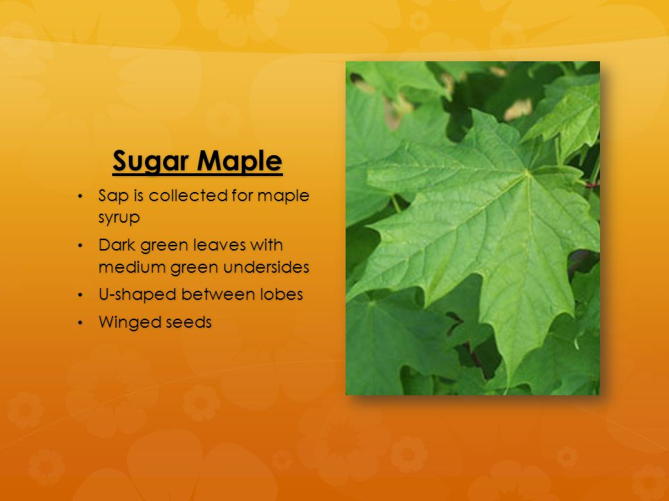 Sugar Maple Sap is collected for maple syrup Sap is collected for maple syrup Dark green leaves with medium green undersides Dark green leaves with medium green undersides U-shaped between lobes U-shaped between lobes Winged seeds Winged seeds