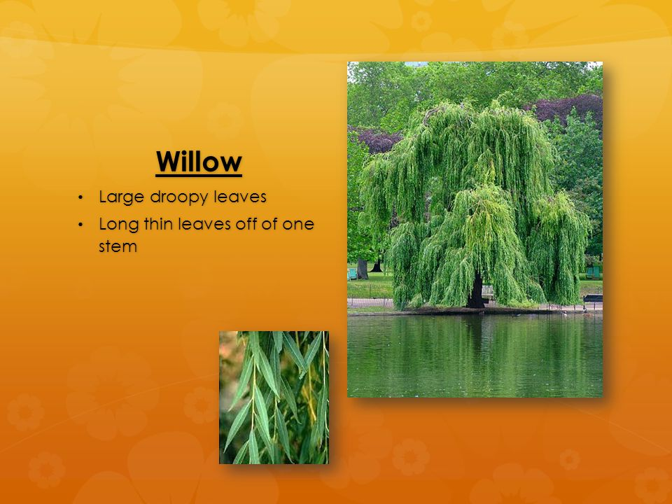 Willow Large droopy leaves Large droopy leaves Long thin leaves off of one stem Long thin leaves off of one stem