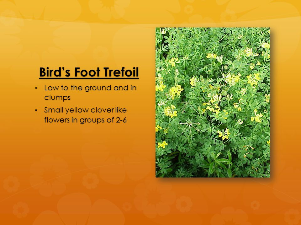 Bird's Foot Trefoil Low to the ground and in clumps Low to the ground and in clumps Small yellow clover like flowers in groups of 2-6 Small yellow clover like flowers in groups of 2-6