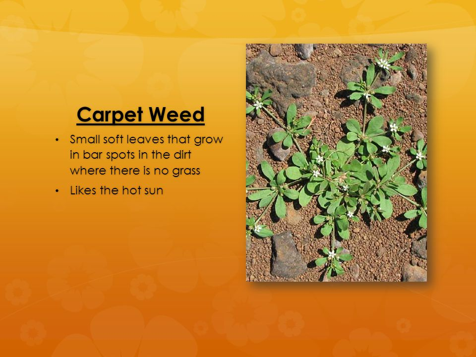 Carpet Weed Small soft leaves that grow in bar spots in the dirt where there is no grass Small soft leaves that grow in bar spots in the dirt where th