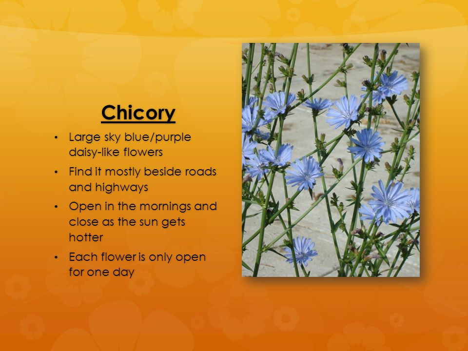 Chicory Large sky blue/purple daisy-like flowers Large sky blue/purple daisy-like flowers Find it mostly beside roads and highways Find it mostly beside roads and highways Open in the mornings and close as the sun gets hotter Open in the mornings and close as the sun gets hotter Each flower is only open for one day Each flower is only open for one day