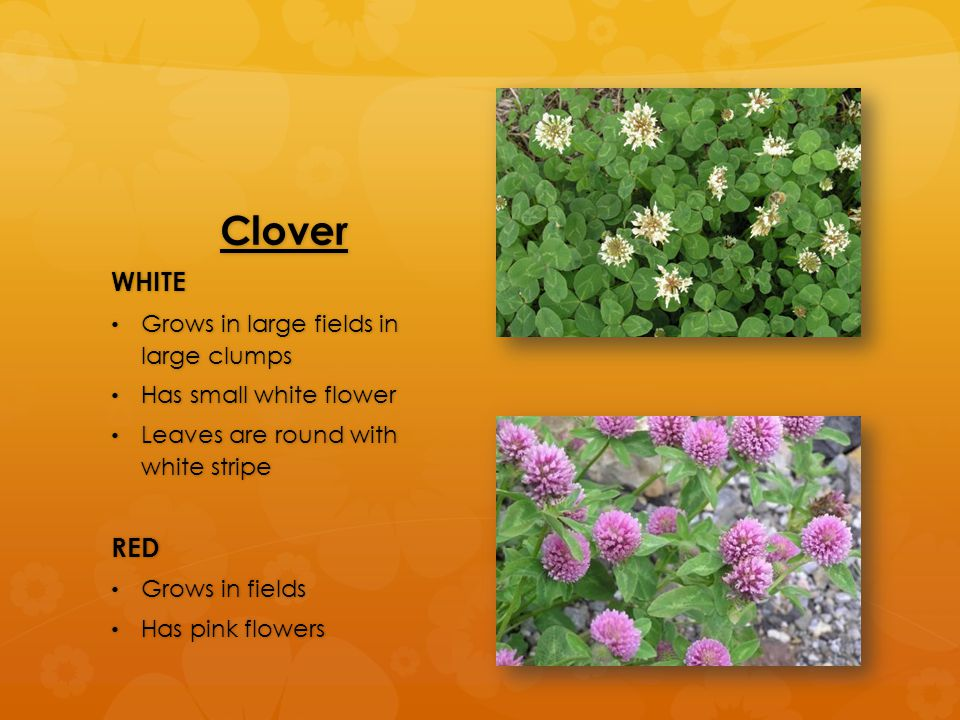 Clover WHITE Grows in large fields in large clumps Grows in large fields in large clumps Has small white flower Has small white flower Leaves are round with white stripe Leaves are round with white stripeRED Grows in fields Grows in fields Has pink flowers Has pink flowers