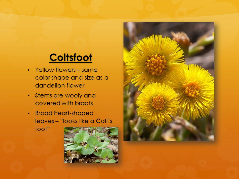 Coltsfoot Yellow flowers – same color shape and size as a dandelion flower Yellow flowers – same color shape and size as a dandelion flower Stems are wooly and covered with bracts Stems are wooly and covered with bracts Broad heart-shaped leaves – looks like a Colt's foot Broad heart-shaped leaves – looks like a Colt's foot