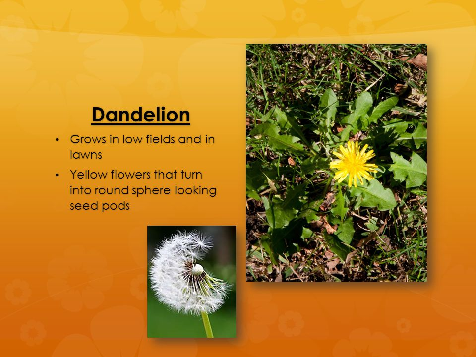 Dandelion Grows in low fields and in lawns Grows in low fields and in lawns Yellow flowers that turn into round sphere looking seed pods Yellow flowers that turn into round sphere looking seed pods