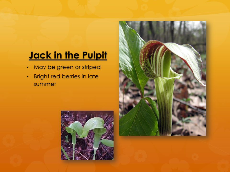 Jack in the Pulpit May be green or striped May be green or striped Bright red berries in late summer Bright red berries in late summer