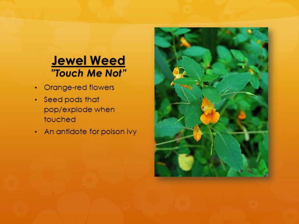 """Jewel Weed """"Touch Me Not"""" Orange-red flowers Orange-red flowers Seed pods that pop/explode when touched Seed pods that pop/explode when touched An ant"""