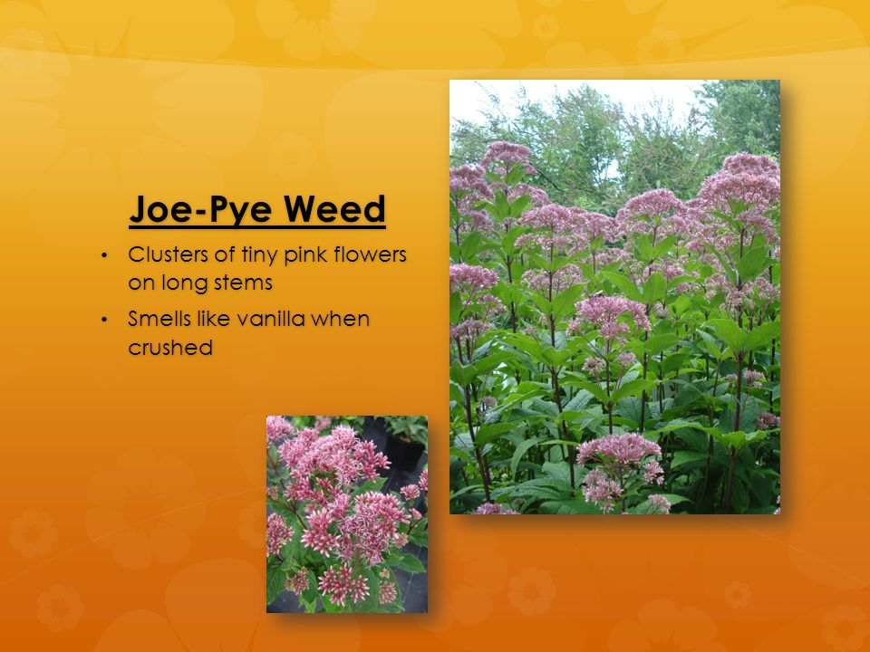 Joe-Pye Weed Clusters of tiny pink flowers on long stems Clusters of tiny pink flowers on long stems Smells like vanilla when crushed Smells like vani