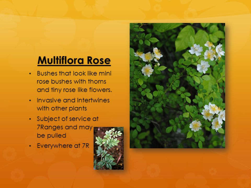 Multiflora Rose Bushes that look like mini rose bushes with thorns and tiny rose like flowers. Bushes that look like mini rose bushes with thorns and