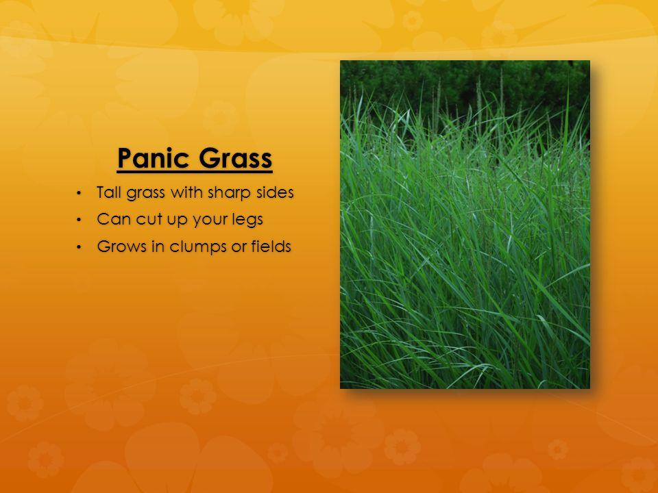 Panic Grass Tall grass with sharp sides Tall grass with sharp sides Can cut up your legs Can cut up your legs Grows in clumps or fields Grows in clumps or fields