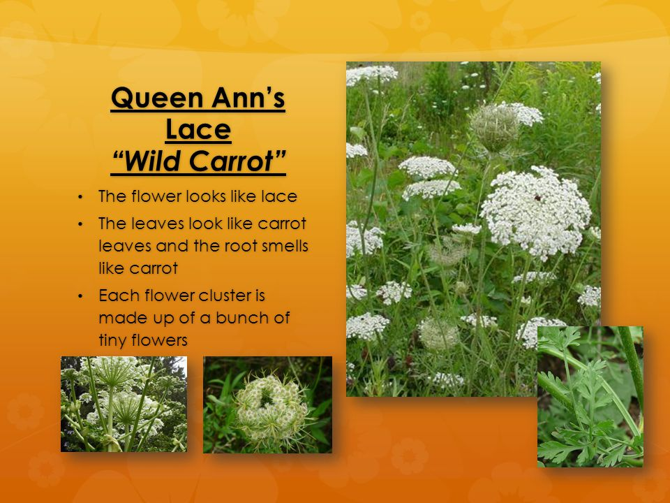 Queen Ann's Lace Wild Carrot The flower looks like lace The flower looks like lace The leaves look like carrot leaves and the root smells like carrot The leaves look like carrot leaves and the root smells like carrot Each flower cluster is made up of a bunch of tiny flowers Each flower cluster is made up of a bunch of tiny flowers