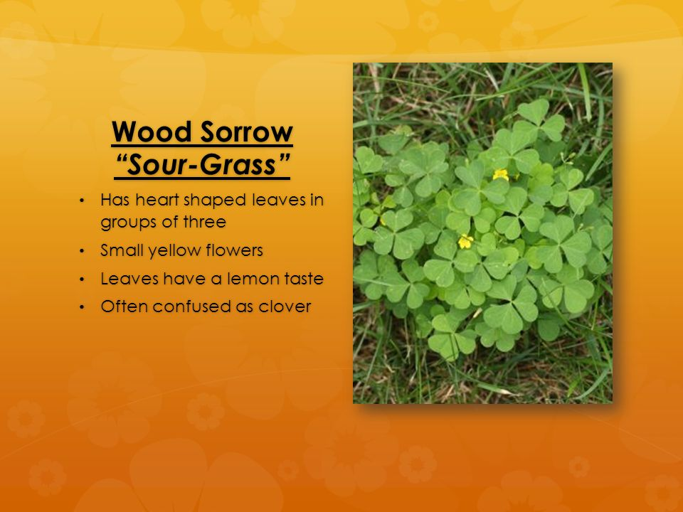 Wood Sorrow Sour-Grass Has heart shaped leaves in groups of three Has heart shaped leaves in groups of three Small yellow flowers Small yellow flowers Leaves have a lemon taste Leaves have a lemon taste Often confused as clover Often confused as clover