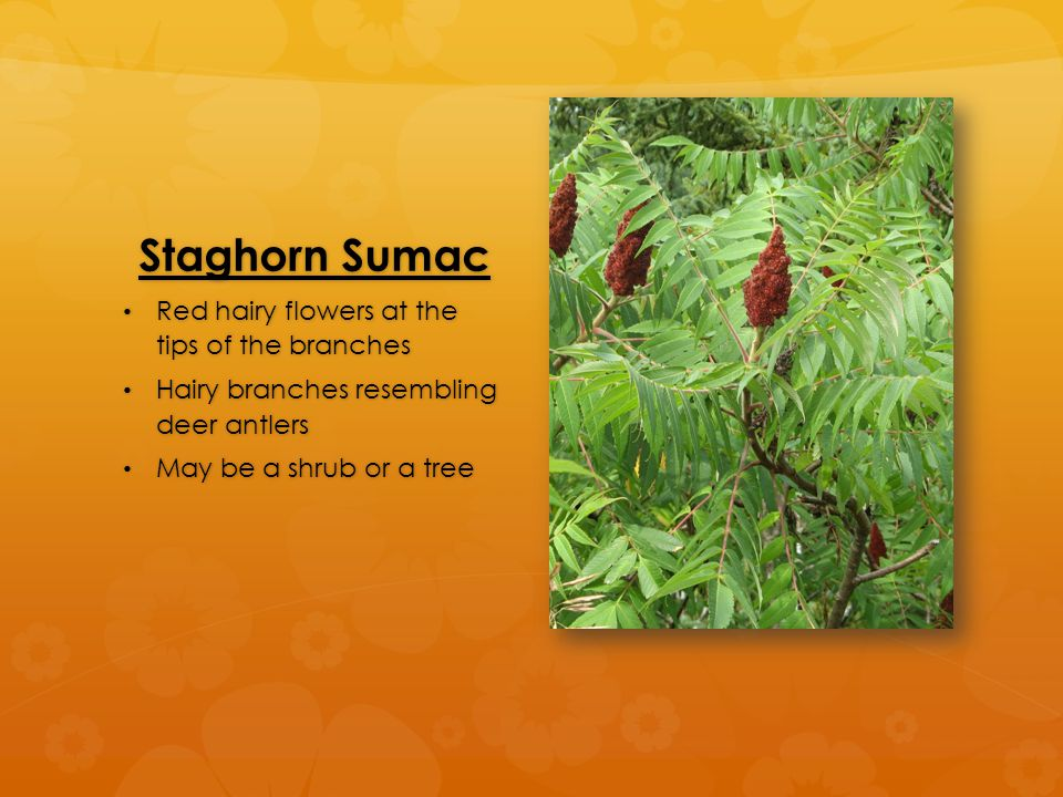 Staghorn Sumac Red hairy flowers at the tips of the branches Red hairy flowers at the tips of the branches Hairy branches resembling deer antlers Hairy branches resembling deer antlers May be a shrub or a tree May be a shrub or a tree