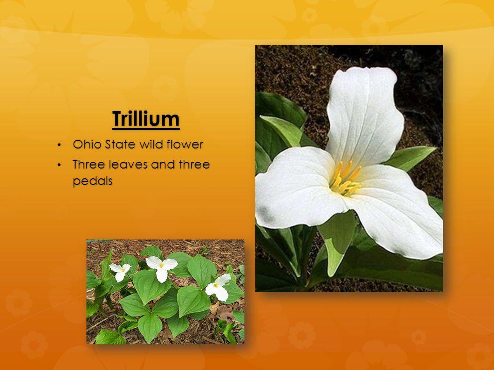 Trillium Ohio State wild flower Ohio State wild flower Three leaves and three pedals Three leaves and three pedals