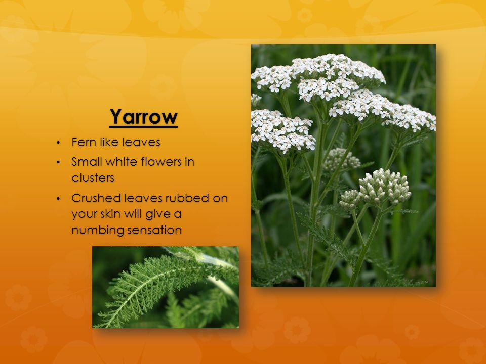 Yarrow Fern like leaves Fern like leaves Small white flowers in clusters Small white flowers in clusters Crushed leaves rubbed on your skin will give a numbing sensation Crushed leaves rubbed on your skin will give a numbing sensation