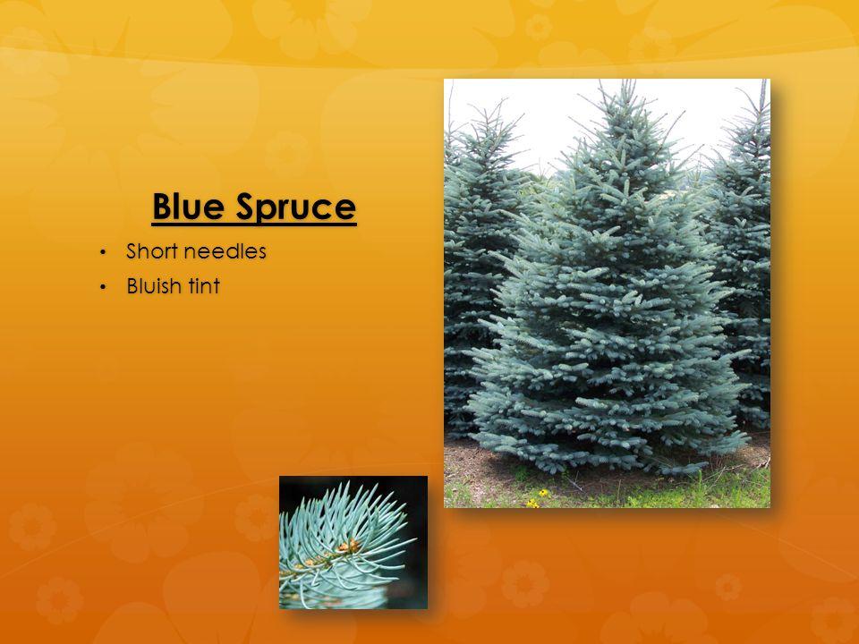 Blue Spruce Short needles Short needles Bluish tint Bluish tint