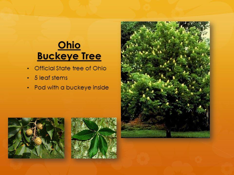 Ohio Buckeye Tree Official State tree of Ohio Official State tree of Ohio 5 leaf stems 5 leaf stems Pod with a buckeye inside Pod with a buckeye inside