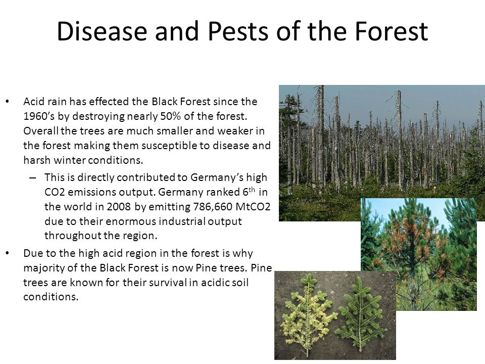 Disease and Pests of the Forest Acid rain has effected the Black Forest since the 1960's by destroying nearly 50% of the forest.