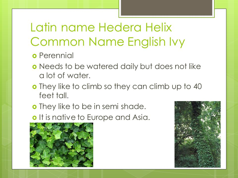 Latin name Hedera Helix Common Name English Ivy  Perennial  Needs to be watered daily but does not like a lot of water.