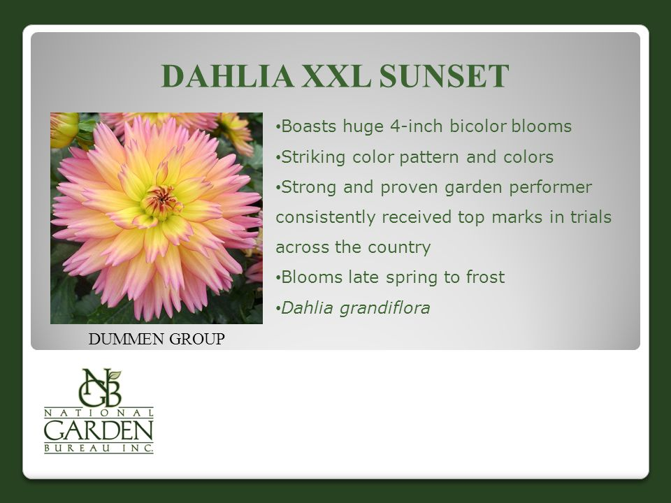 DAHLIA XXL SUNSET DUMMEN GROUP Boasts huge 4-inch bicolor blooms Striking color pattern and colors Strong and proven garden performer consistently received top marks in trials across the country Blooms late spring to frost Dahlia grandiflora