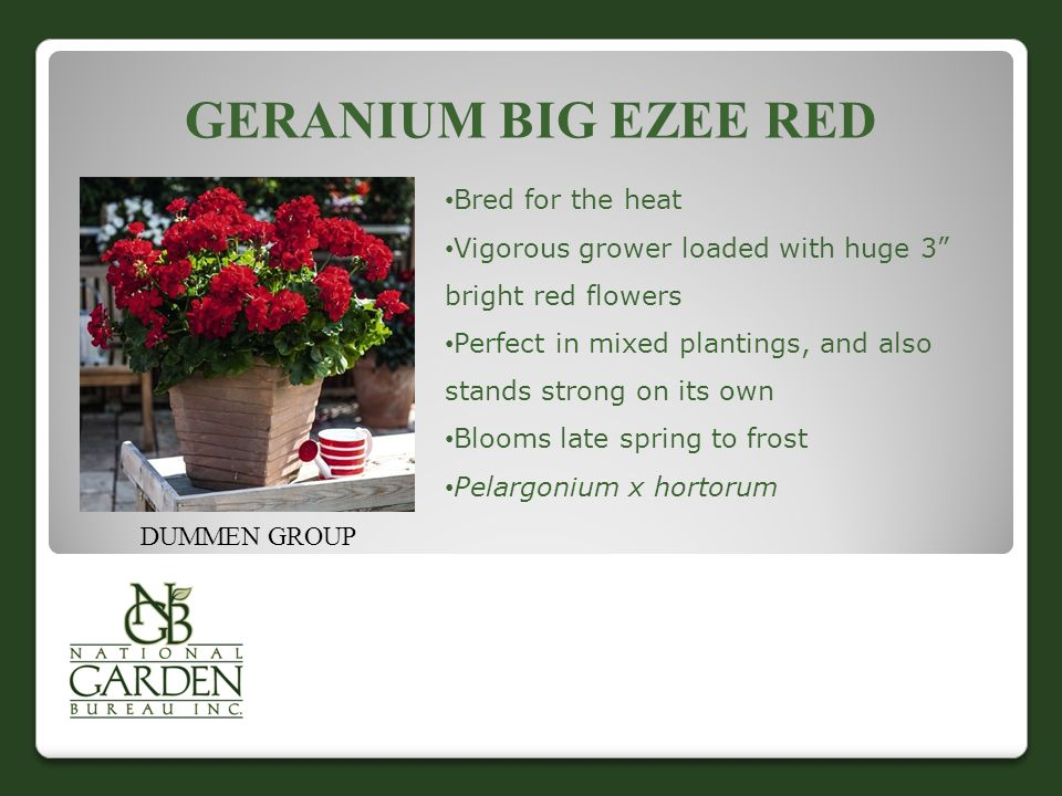 "GERANIUM BIG EZEE RED DUMMEN GROUP Bred for the heat Vigorous grower loaded with huge 3"" bright red flowers Perfect in mixed plantings, and also stand"