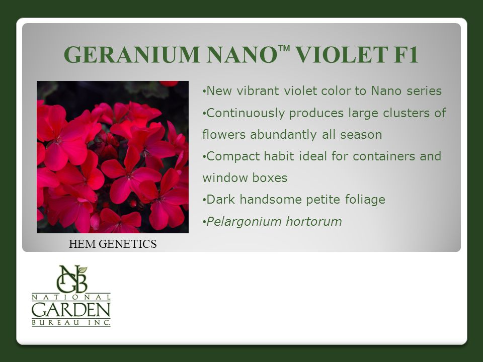 GERANIUM NANO  VIOLET F1 HEM GENETICS New vibrant violet color to Nano series Continuously produces large clusters of flowers abundantly all season Compact habit ideal for containers and window boxes Dark handsome petite foliage Pelargonium hortorum