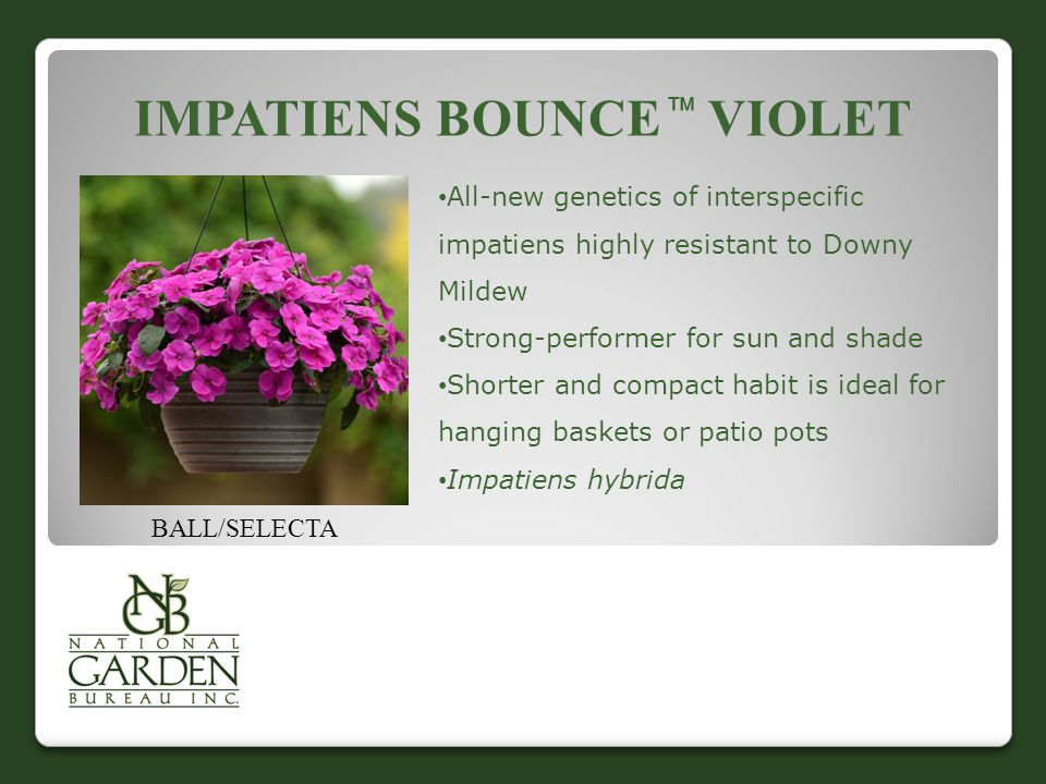 IMPATIENS BOUNCE  VIOLET BALL/SELECTA All-new genetics of interspecific impatiens highly resistant to Downy Mildew Strong-performer for sun and shade