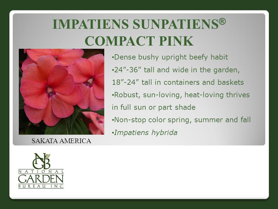 IMPATIENS SUNPATIENS ® COMPACT PINK SAKATA AMERICA Dense bushy upright beefy habit 24 -36 tall and wide in the garden, 18 -24 tall in containers and baskets Robust, sun-loving, heat-loving thrives in full sun or part shade Non-stop color spring, summer and fall Impatiens hybrida