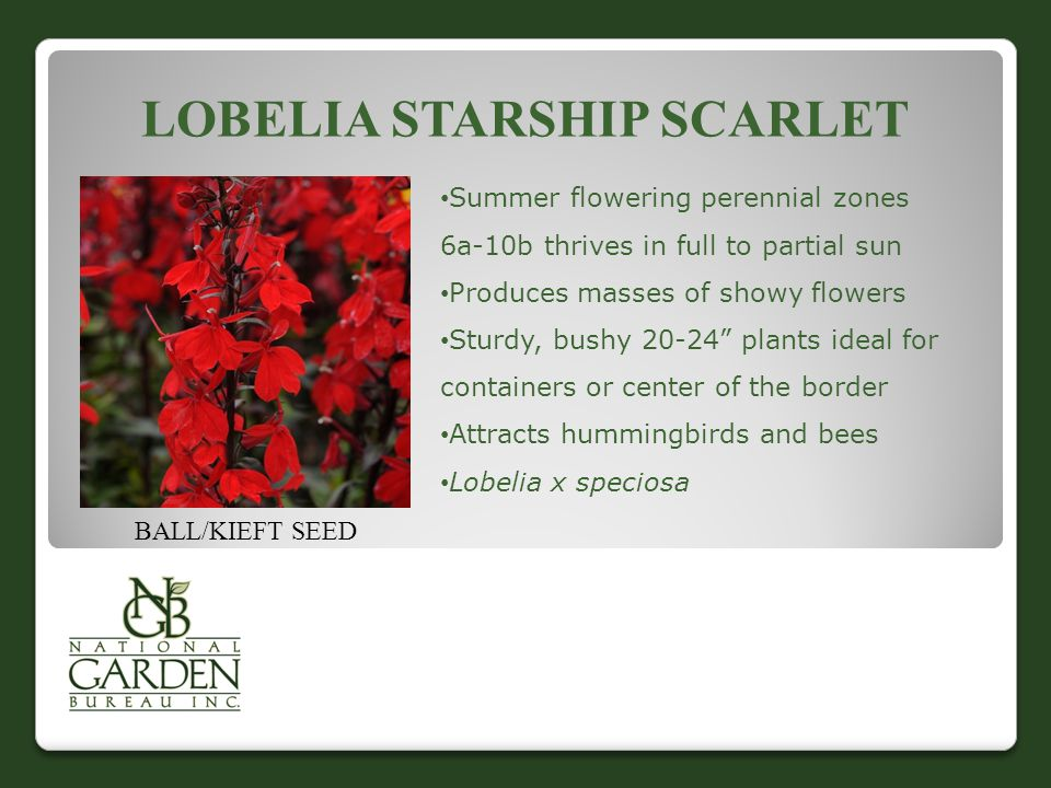 LOBELIA STARSHIP SCARLET BALL/KIEFT SEED Summer flowering perennial zones 6a-10b thrives in full to partial sun Produces masses of showy flowers Sturd