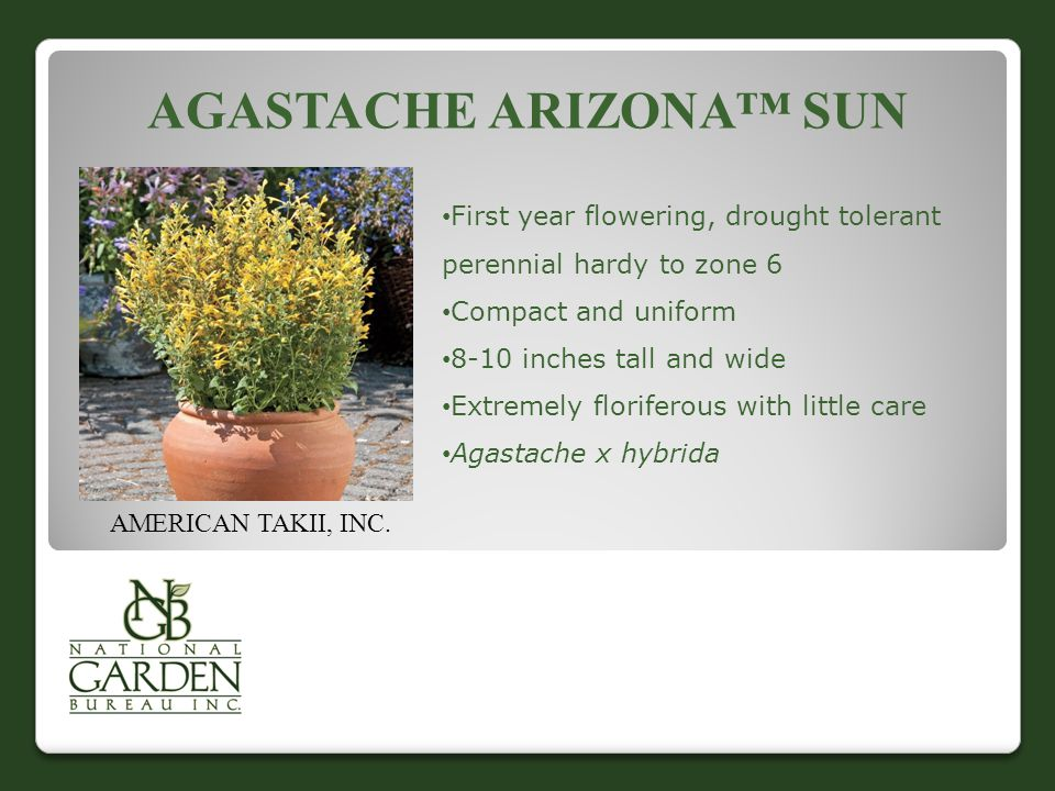 AGASTACHE ARIZONA™ SUN AMERICAN TAKII, INC. First year flowering, drought tolerant perennial hardy to zone 6 Compact and uniform 8-10 inches tall and