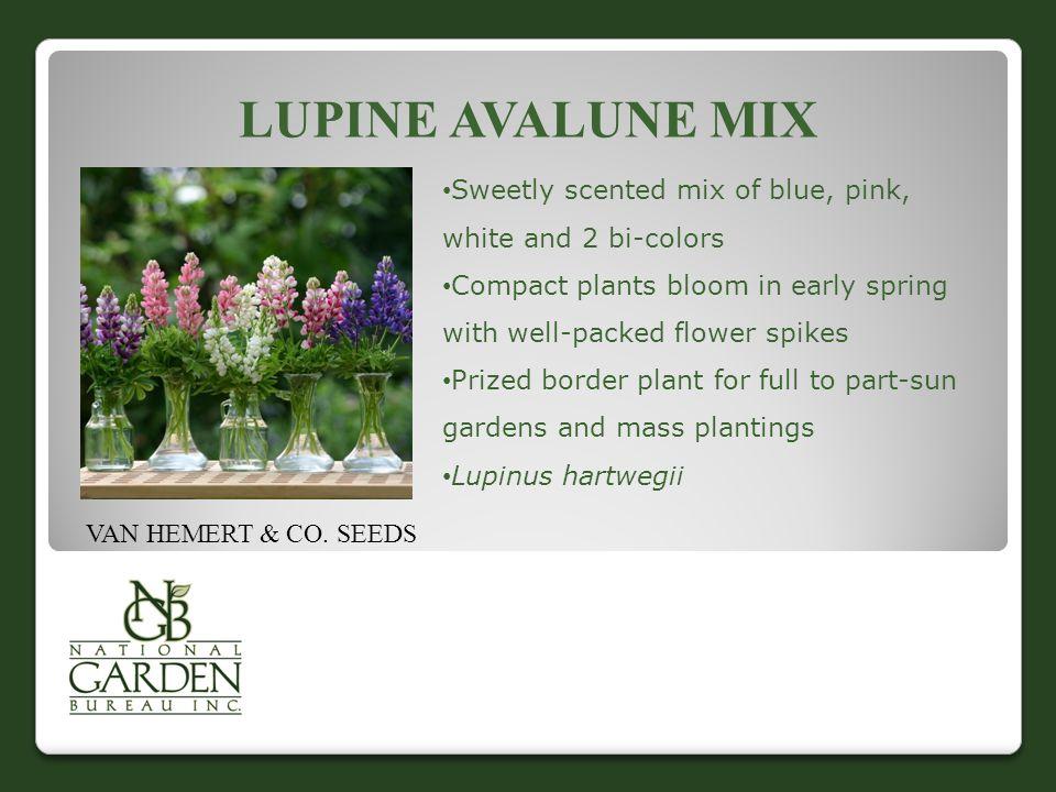 LUPINE AVALUNE MIX VAN HEMERT & CO.