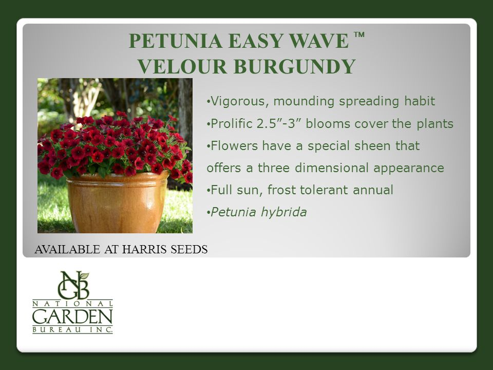 "PETUNIA EASY WAVE  VELOUR BURGUNDY AVAILABLE AT HARRIS SEEDS Vigorous, mounding spreading habit Prolific 2.5""-3"" blooms cover the plants Flowers have"