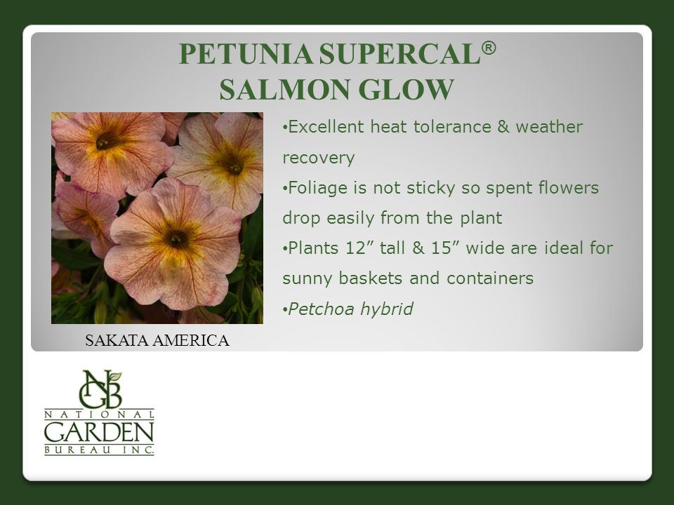 PETUNIA SUPERCAL ® SALMON GLOW SAKATA AMERICA Excellent heat tolerance & weather recovery Foliage is not sticky so spent flowers drop easily from the plant Plants 12 tall & 15 wide are ideal for sunny baskets and containers Petchoa hybrid