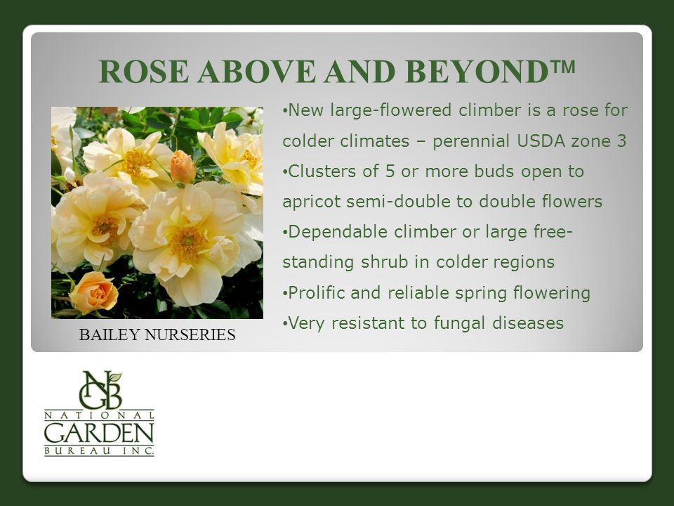 ROSE ABOVE AND BEYOND  BAILEY NURSERIES New large-flowered climber is a rose for colder climates – perennial USDA zone 3 Clusters of 5 or more buds open to apricot semi-double to double flowers Dependable climber or large free- standing shrub in colder regions Prolific and reliable spring flowering Very resistant to fungal diseases