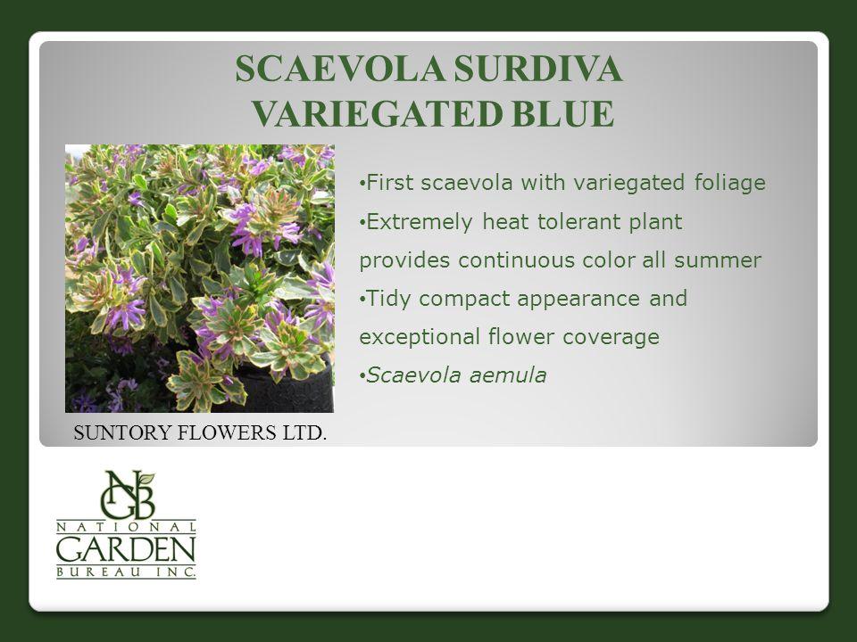 SCAEVOLA SURDIVA VARIEGATED BLUE SUNTORY FLOWERS LTD.
