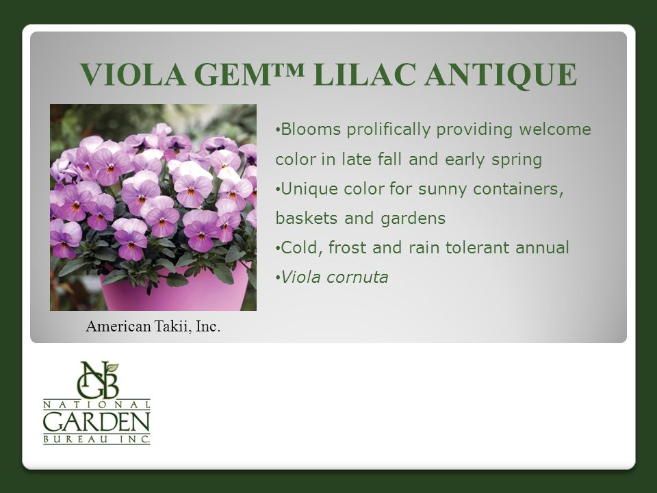 VIOLA GEM™ LILAC ANTIQUE American Takii, Inc. Blooms prolifically providing welcome color in late fall and early spring Unique color for sunny contain