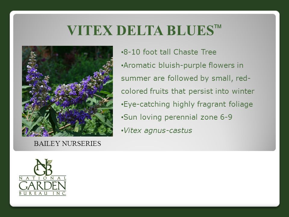 VITEX DELTA BLUES  BAILEY NURSERIES 8-10 foot tall Chaste Tree Aromatic bluish-purple flowers in summer are followed by small, red- colored fruits that persist into winter Eye-catching highly fragrant foliage Sun loving perennial zone 6-9 Vitex agnus-castus