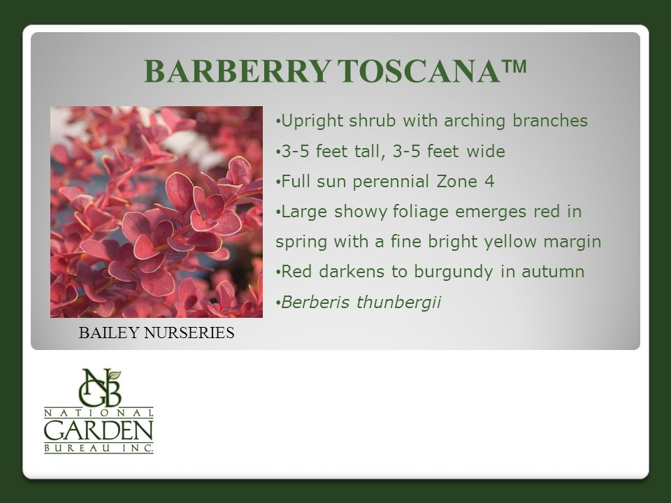 BARBERRY TOSCANA  BAILEY NURSERIES Upright shrub with arching branches 3-5 feet tall, 3-5 feet wide Full sun perennial Zone 4 Large showy foliage emerges red in spring with a fine bright yellow margin Red darkens to burgundy in autumn Berberis thunbergii