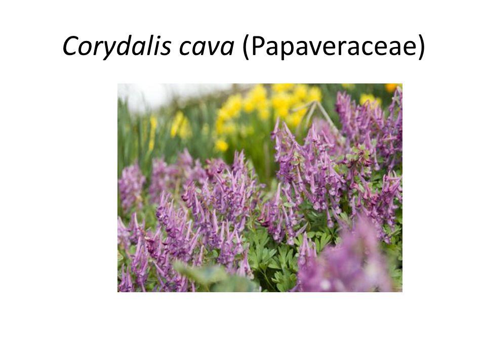 Corydalis cava (Papaveraceae)