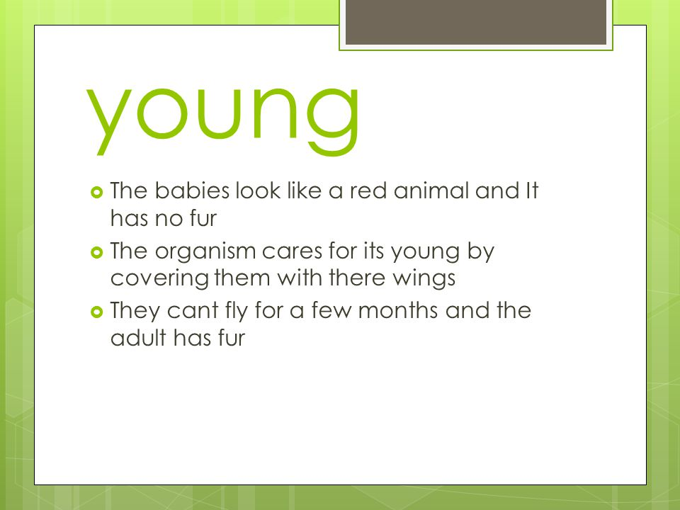 young  The babies look like a red animal and It has no fur  The organism cares for its young by covering them with there wings  They cant fly for a few months and the adult has fur