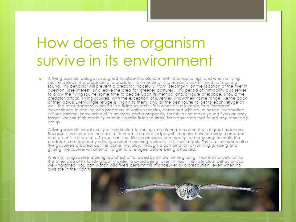 How does the organism survive in its environment  A flying squirrels pelage is designed to allow it to blend in with its surroundings, and when a flying squirrel detects the presence of a predator, its first instinct is to remain stock-still and not make a sound.