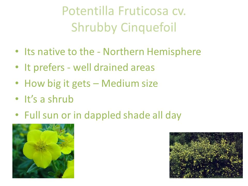 Potentilla Fruticosa cv. Shrubby Cinquefoil Its native to the - Northern Hemisphere It prefers - well drained areas How big it gets – Medium size It's