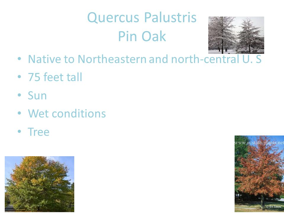 Quercus Palustris Pin Oak Native to Northeastern and north-central U.
