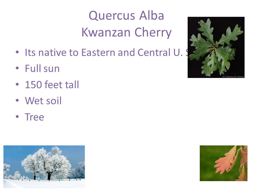 Quercus Alba Kwanzan Cherry Its native to Eastern and Central U.
