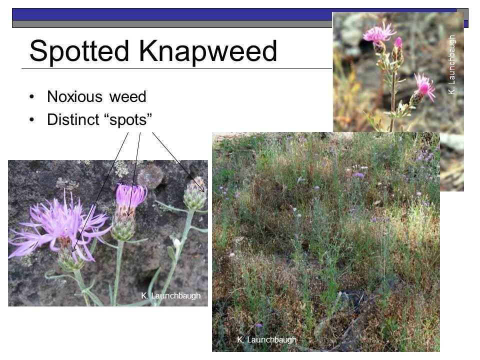 Spotted Knapweed Noxious weed Distinct spots K. Launchbaugh Jen Peterson K. Launchbaugh