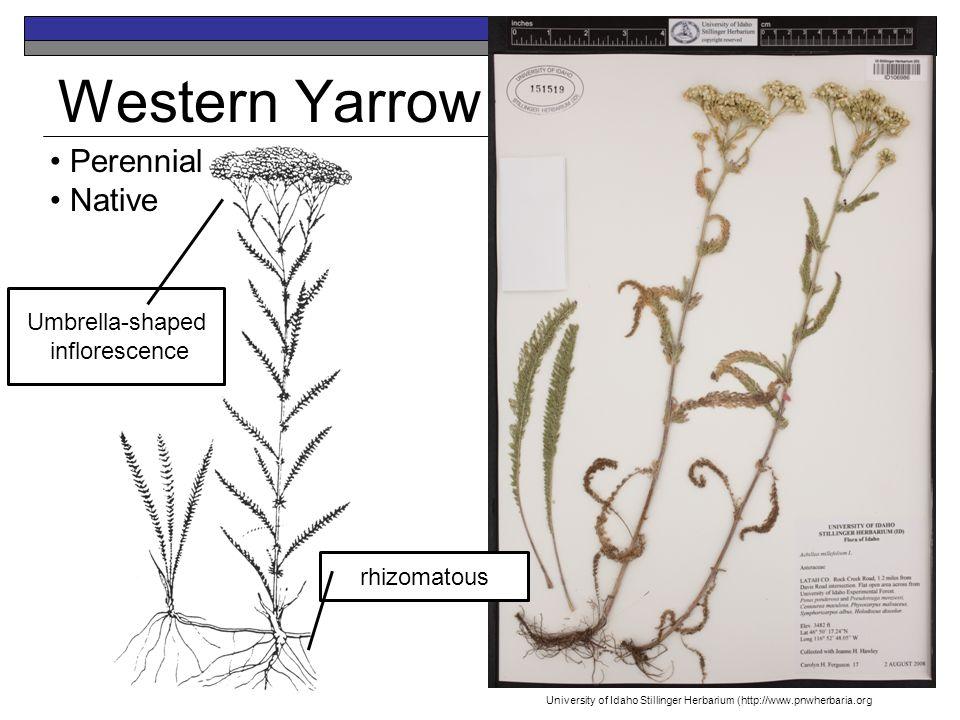 Western Yarrow Perennial Native Umbrella-shaped inflorescence rhizomatous University of Idaho Stillinger Herbarium (http://www.pnwherbaria.org