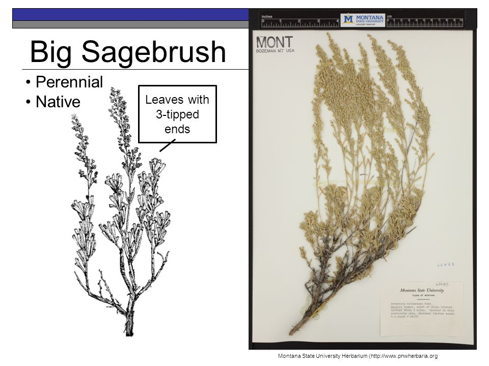 Big Sagebrush Perennial Native Leaves with 3-tipped ends Montana State University Herbarium (http://www.pnwherbaria.org