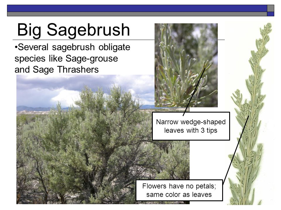 Big Sagebrush Several sagebrush obligate species like Sage-grouse and Sage Thrashers Narrow wedge-shaped leaves with 3 tips Flowers have no petals; sa
