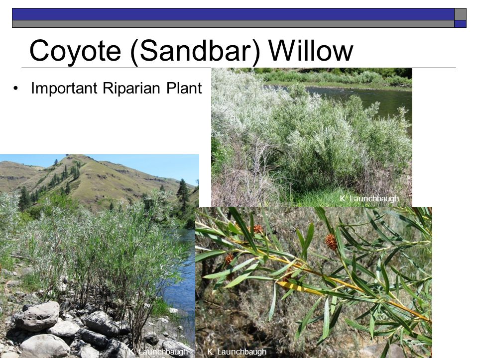 Coyote (Sandbar) Willow Important Riparian Plant K. Launchbaugh
